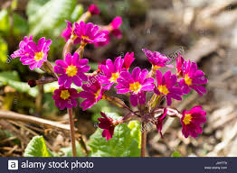 Pink Primrose Flower - deep pink primrose flowers in the polyantha type heads of the