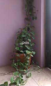 Indore Plants Outdoor And Indoor Plants For Sale Qatar Living