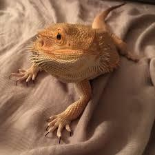 Lizard Meme - meme lizard rockstarweeaboo twitter