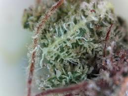 marijuana trichomes what science says about cannabis trichomes weed reader