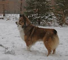 south dakota australian shepherd rescue aussie corgi information pictures reviews and q u0026a greatdogsite com