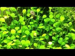 Aquascape Aquarium Plants Marsilea Crenata Aquascape Aquatic Plants To Nano Tanks Youtube