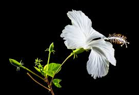 free images blossom white leaf flower petal bloom insect
