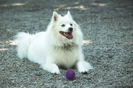 american eskimo dog vancouver the world u0027s best photos of american and eskimo flickr hive mind