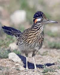 the road runner greater roadrunner audubon field guide