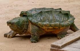 Ringed Map Turtle Fauna Of Louisiana Wikiwand