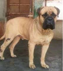 boxer dog price pet dogs pug wholesale supplier from navi mumbai