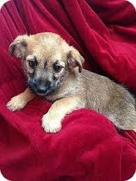 affenpinscher breeders texas affenpinscher puppies for sale teacup michael morkie www