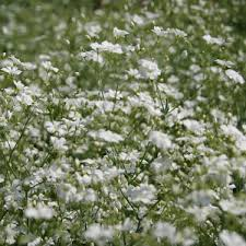 baby s breath flower gypsophila seeds white baby s breath flower seed