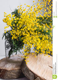 home decor brunch of beautiful mimosa yellow spring flowers in