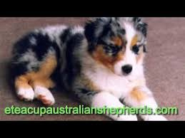 australian shepherd german shepherd best 25 teacup australian shepherd ideas on pinterest