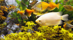 cool freshwater fish aquariums aquarium design ideas