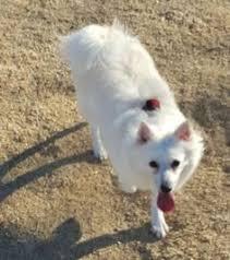 american eskimo dog ny american eskimo dog dog for adoption in kanab ut adn 514942 on