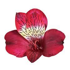 alstroemeria flower globalrose fresh alstroemeria flowers 80 stems 320 blooms