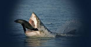 great white shark cage diving cape town apex shark expeditions