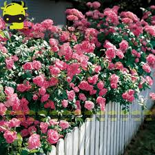 compare prices on climbing pink roses online shopping buy low