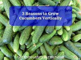How To Grow Cucumbers On A Trellis 3 Reasons You Should Plant Cucumbers Vertically Homestead