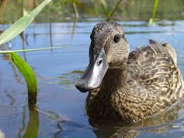 wildlife programs koloa maoli the hawaiian duck