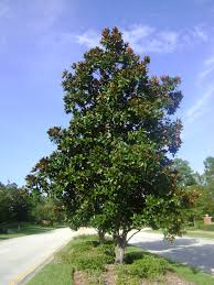 buy magnolia trees for sale in orlando kissimmee
