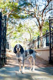 names for a bluetick coonhound bones a bluetick coonhound nuance pet photos blog charleston