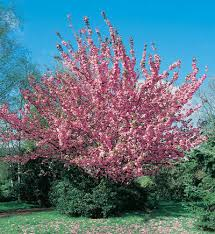 prunus serrulata kwanzan kwanzan cherry from historyland nursery