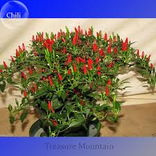 aliexpress buy heirloom thai sun pepper capsicum annuum