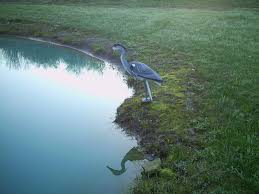 Heron Meaning by Protects Koi U0026 Other Prescious Fish From Herons Life Like