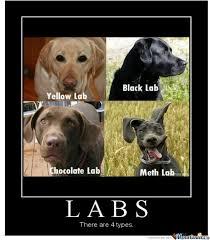 Chocolate Lab Meme - lab partners by trav2016 meme center