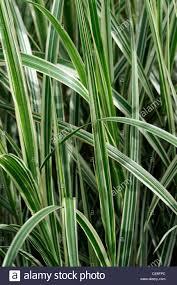 miscanthus sinensis dixieland plant portraits green white stripes