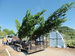 dabney nursery trees trees for sale ornamental trees