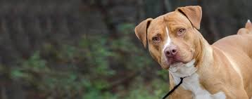 american pitbull terrier breeders st louis american staffordshire terrier dog breed health history