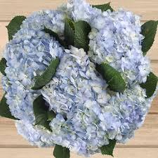 hydrangeas flowers hydrangeas bulk flowers costco