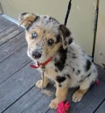 australian shepherd puppies near me best 25 corgi australian shepherd mix ideas on pinterest