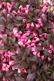 Learn More About Full Sun by Coco Krunch Weigela Is New And Exclusive From Monrovia This