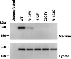 Anti Flag Antibody Molecular Characterization Of Adamts13 Gene Mutations In Japanese