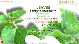 oregano health benefits oregano plant medicinal properties youtube