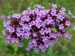 native plants in illinois verbena purpletop vervain verbena bonariensis zoom u0027s edible plants