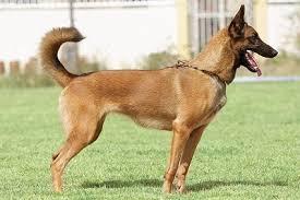 belgian shepherd malaysia singapore thailand malaysia dog puppy for sale