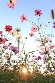 Flower Love Pics - best 20 cosmos flower photos ideas on pinterest cosmos flowers