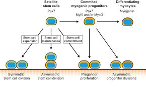 intrinsic and extrinsic mechanisms regulating satellite cell