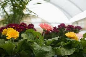 gerbera plant how to grow gerbera outdoors home guides sf gate