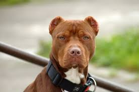 american pitbull terrier z hter deutschland 15 most common dog breeds found in shelters u2013 iheartdogs com