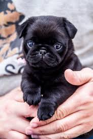 91 best pug dogs images on pinterest pug dogs animals and