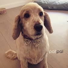 short hair cut for cocker spaniels at patpal dog grooming