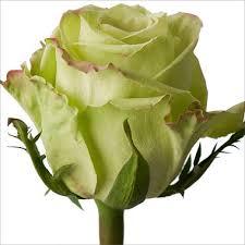 green roses roses green tea 100 stems sam s club