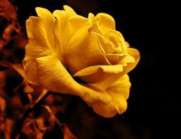golden roses midnight golden flower photograph by jennie schell