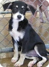 australian shepherd up for adoption pearland tx australian shepherd border collie mix meet lucy a