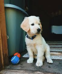 Comfort Retriever Puppies For Sale 311 Best Puppies Images On Pinterest Golden Retriever Puppies