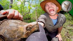 crazy alligator snapping turtle bite youtube