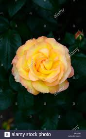 rosa solitaire rose double flower yellow peach apricot shrub